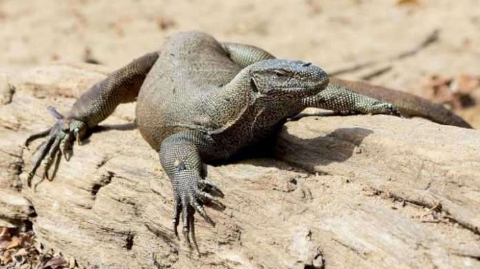 Image result for Giant Monitor Lizard Found In Govt. Office In Delhi